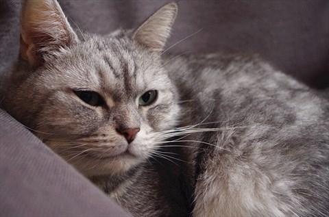 壁纸 动物 猫 猫咪 小猫 桌面 480_317